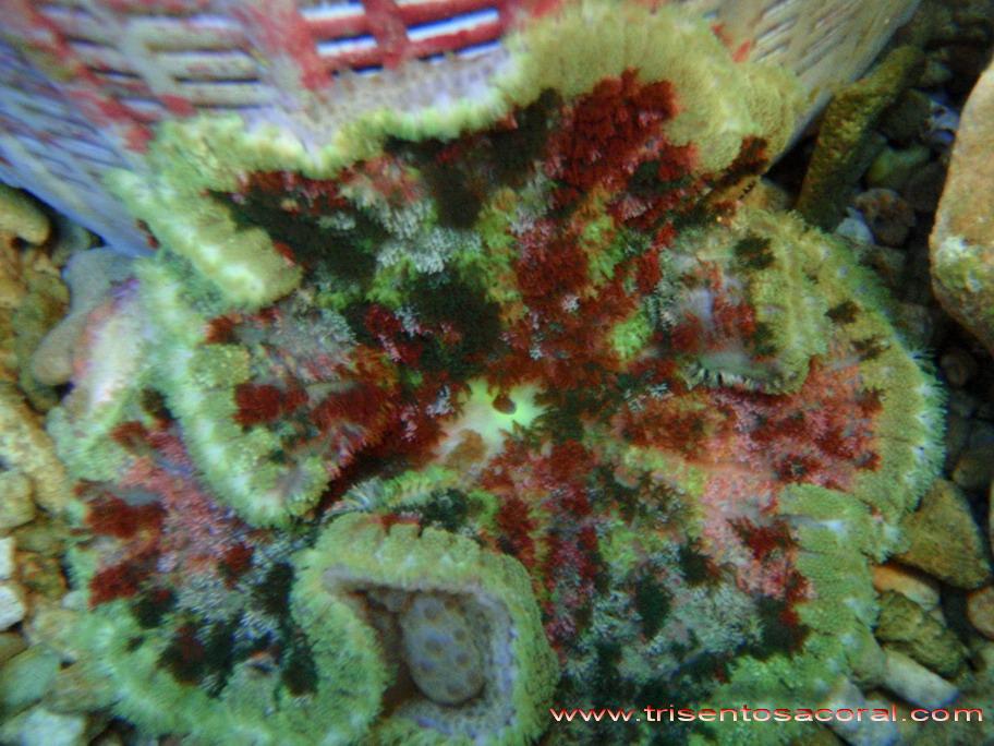 Sea Anemone Species: Sea Anemones, Bulb and Carpet Anemones